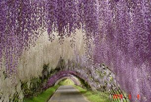 Traditional Landscape/Yard with Wisteria tunnel at kawachi fuji gardens japan