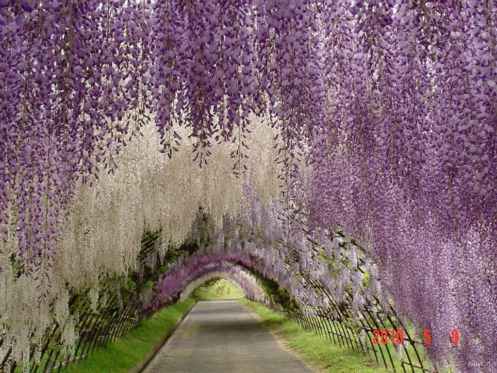 Traditional Landscape/Yard with Arbor, Pathway, White Wisteria